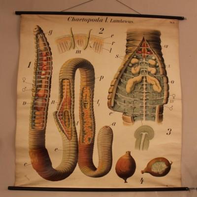 Planche didactique Du Docteur Paul Pfurtscheller