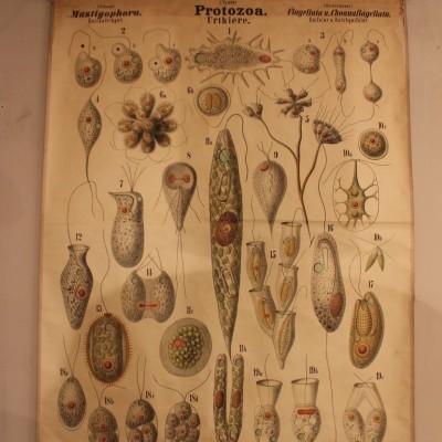 "Didactic board zoologist ""Wandtafeln"" 1880"