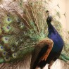 Very nice naturalized blue peacock doing the wheel